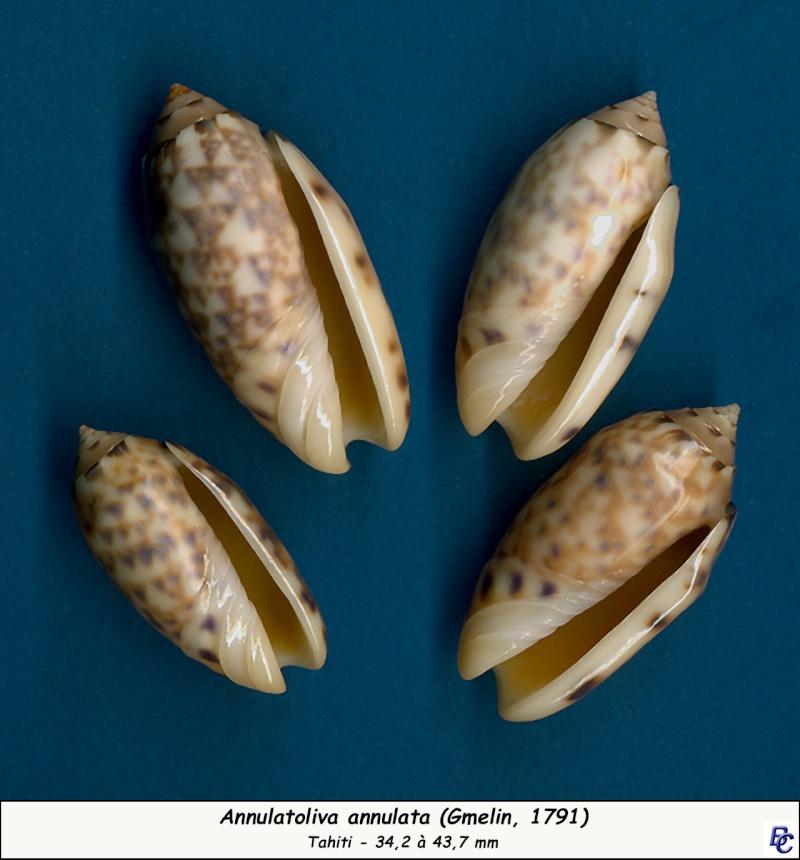 Annulatoliva annulata (Gmelin, 1791) Annula13