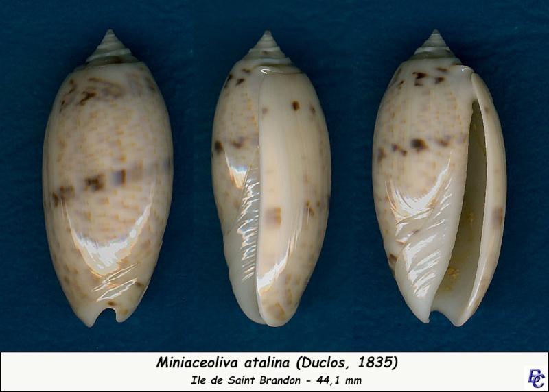 Miniaceoliva atalina (Duclos, 1835) Atalin10
