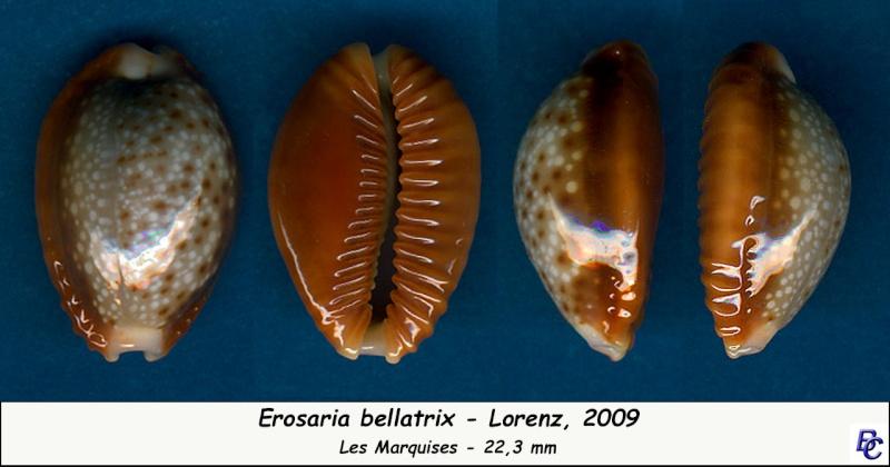 Naria helvola bellatrix - (Lorenz, 2009) - Page 2 Bellat12