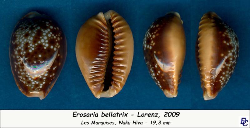 Naria helvola bellatrix - (Lorenz, 2009) - Page 2 Bellat13