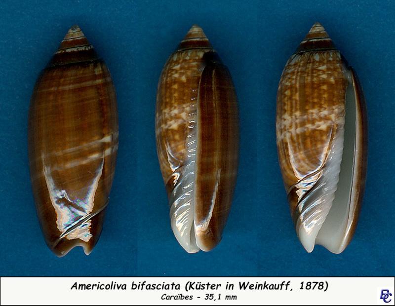 Americoliva bifasciata - Kuster, 1878 - Page 2 Bifasc10