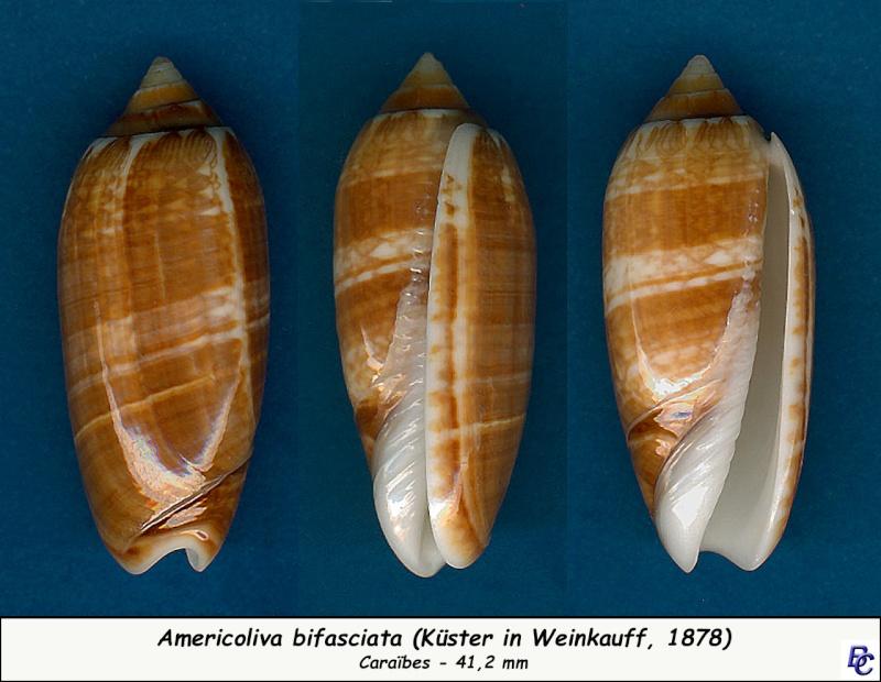 Americoliva bifasciata - Kuster, 1878 - Page 2 Bifasc12