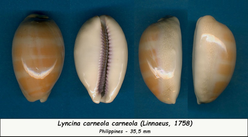 Lyncina carneola - (Linnaeus, 1758) - Page 2 Carneo12
