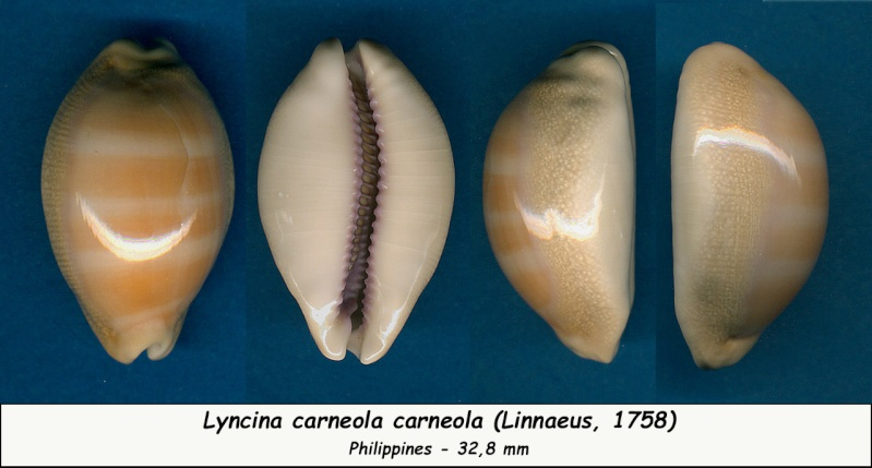 Lyncina carneola - (Linnaeus, 1758) - Page 2 Carneo13