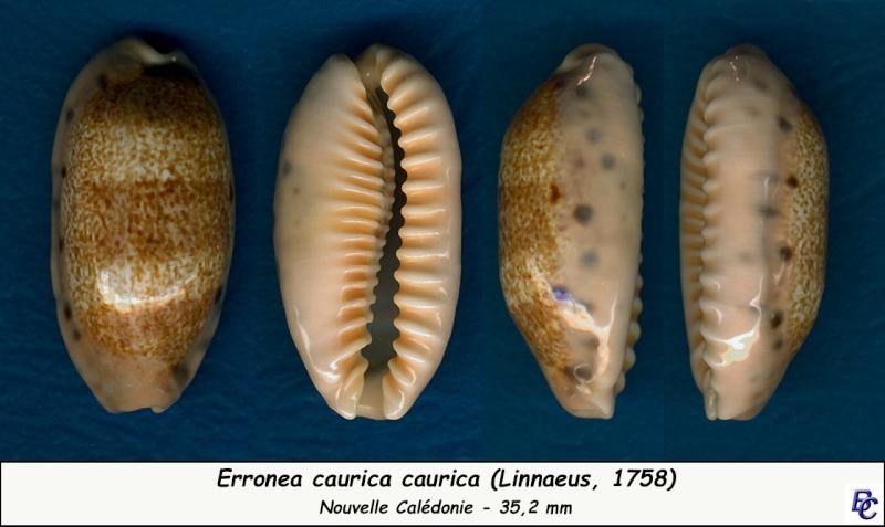 Erronea caurica caurica - (Linnaeus, 1758) Cauric12