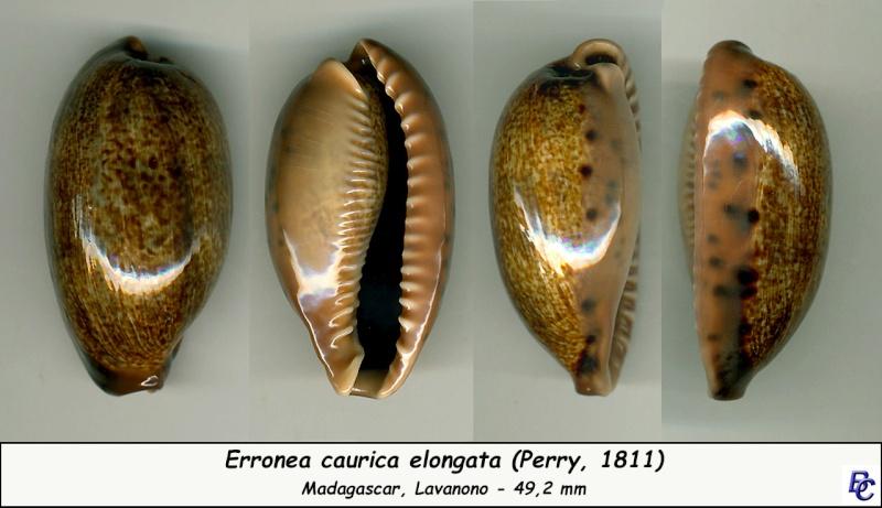 Erronea caurica elongata - (Perry, 1811) Cauric21