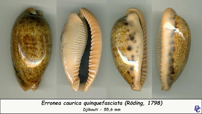 Erronea caurica quinquefasciata - (Röding, 1798)  Cauric22