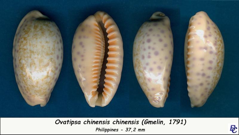 Ovatipsa chinensis - (Gmelin, 1791)  Chinen15