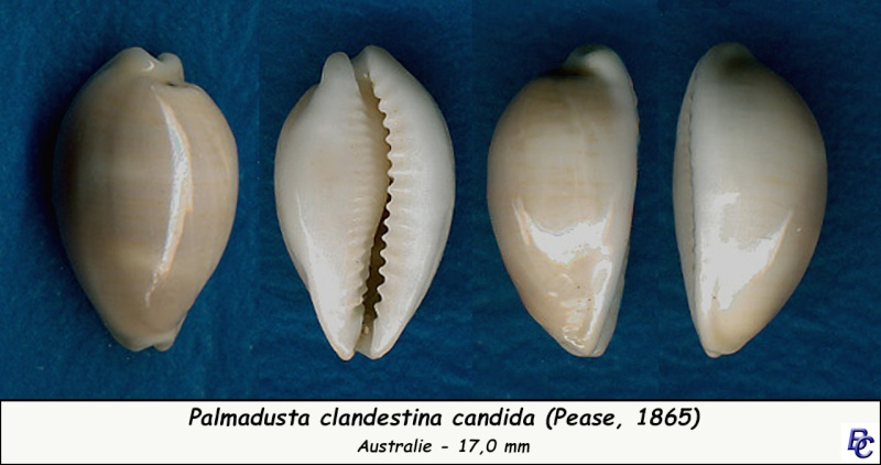 Palmadusta clandestina clandestina - (Linnaeus, 1767) representé par Palmadusta clandestina - (Linnaeus, 1767) Clande11