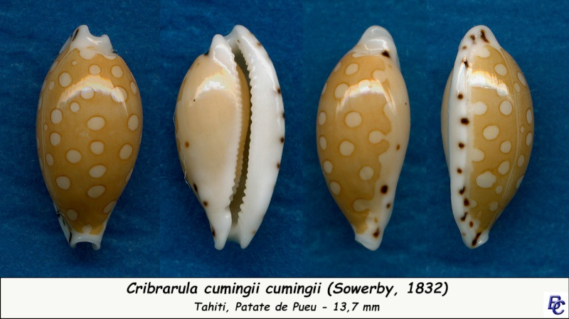 Cribrarula cumingii - (Gray, 1832)  - Page 2 Cuming10