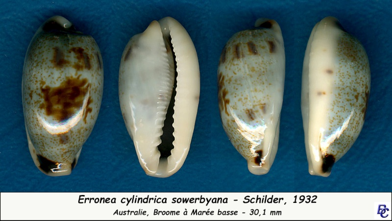 Erronea cylindrica cylindrica - (Born, 1778) Cylind16