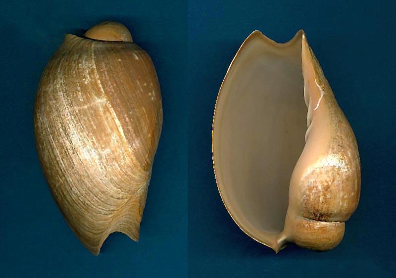 Cymbium pachyus - (Pallary 1930) Cymbiu10