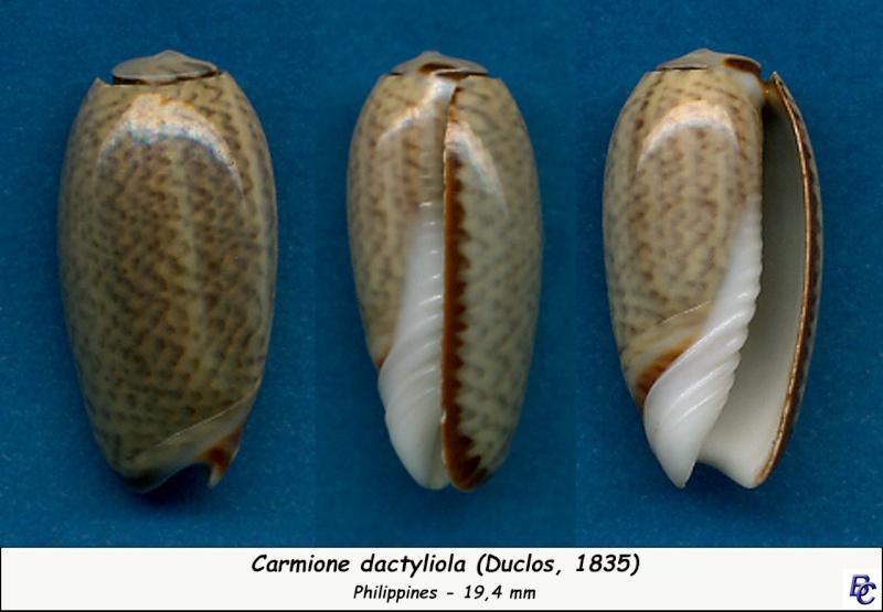 Carmione dactyliola (Duclos, 1835) Dactyl10