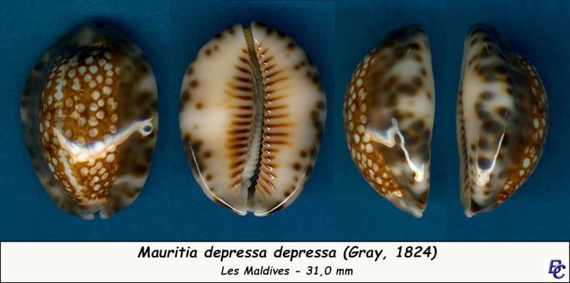 Mauritia depressa depressa - J.E. Gray, 1824 Depres12