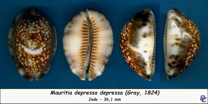 Mauritia depressa depressa - J.E. Gray, 1824 Depres13
