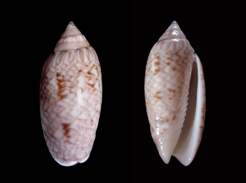 Americoliva barbadensis - Petuch & Sargent, 1986 Dsc06110