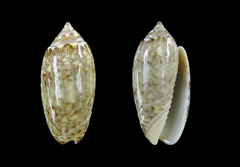 Americoliva reticularis ernesti (Petuch, 1990) Dscn0010