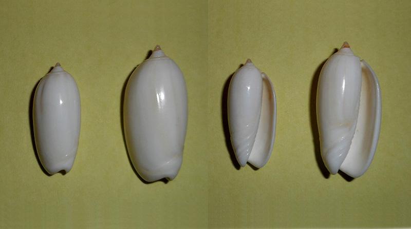 Americoliva reclusa (Marrat, 1871) - forme blanche Dscn1710