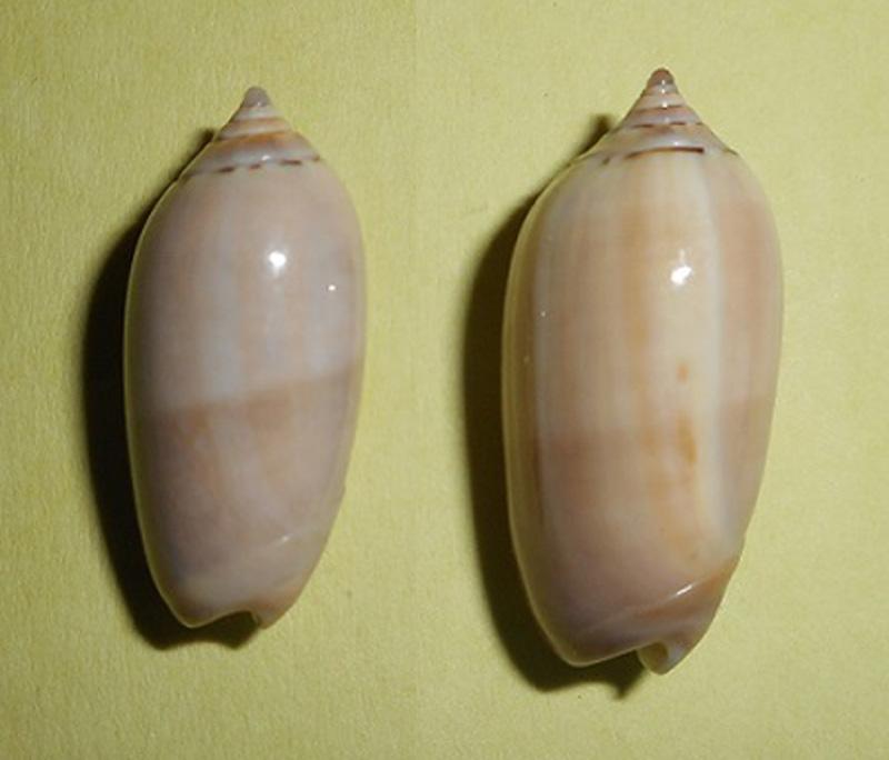 Americoliva flammulata f. isabellina (Dautzenberg, 1910)  - Worms = Oliva flammulata Lamarck, 1811 - Page 2 Dscn1711