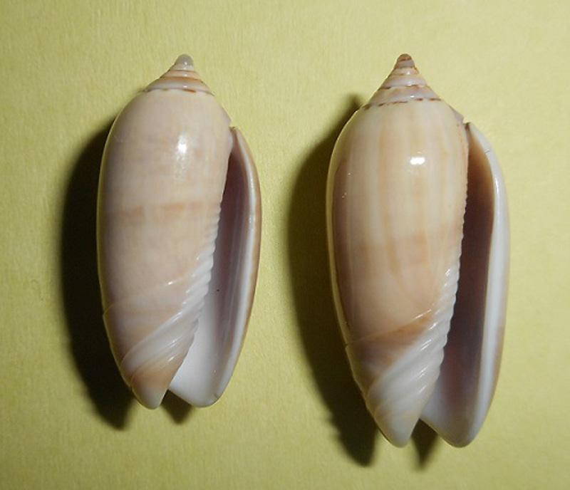 Americoliva flammulata f. isabellina (Dautzenberg, 1910)  - Worms = Oliva flammulata Lamarck, 1811 - Page 2 Dscn1712