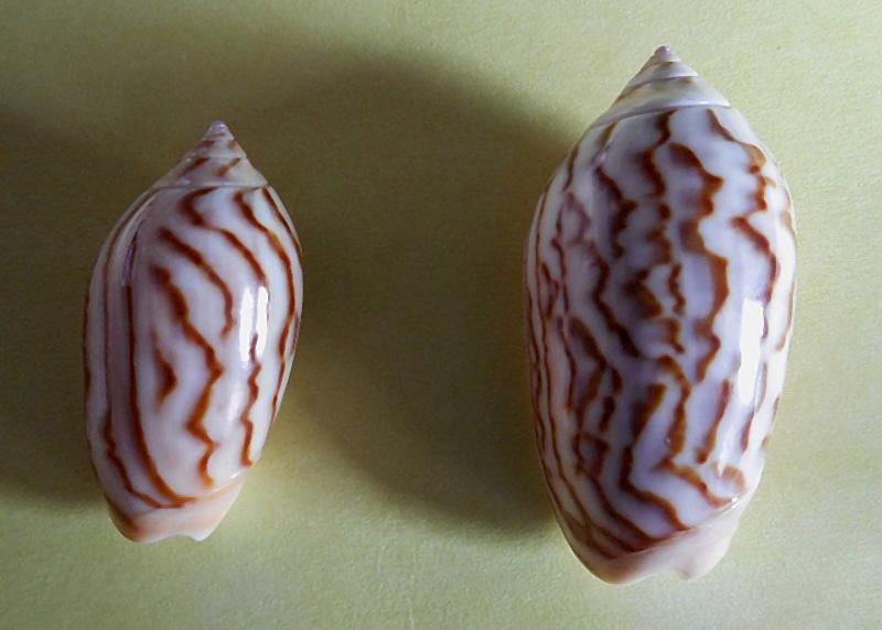 Americoliva peruviana f. fulgurata ((Von Martens, 1869) accepted as Americoliva peruviana (Lamarck, 1811)  Dscn1810