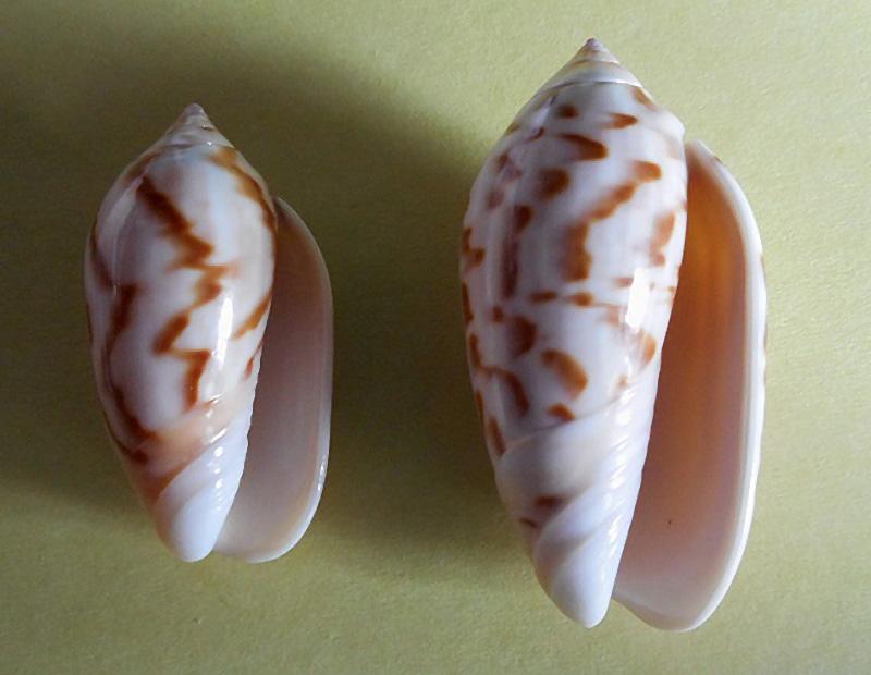 Americoliva peruviana f. fulgurata ((Von Martens, 1869) accepted as Americoliva peruviana (Lamarck, 1811)  Dscn1811