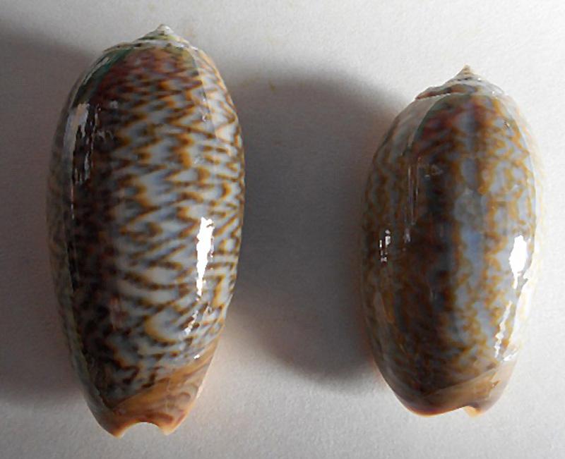 Viduoliva elegans (Lamarck, 1811) Dscn1812