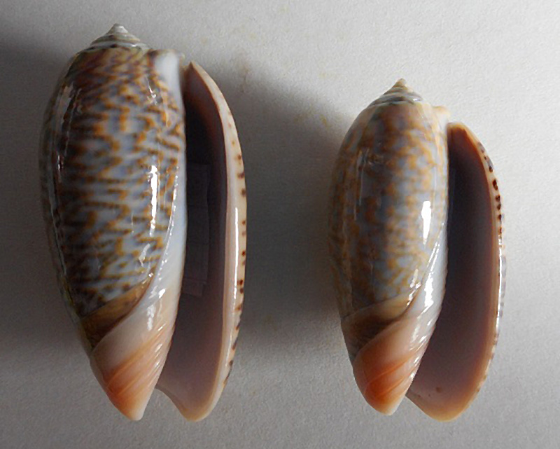 Viduoliva elegans (Lamarck, 1811) Dscn1813