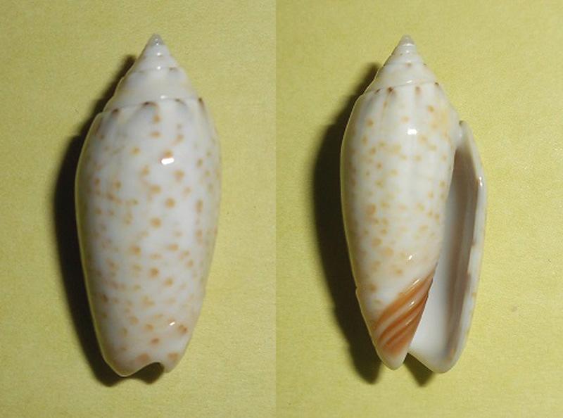 Americoliva pindarina f. intertincta (Carpenter, 1857) voir Americoliva pindarina (Duclos, 1840) Dscn1815