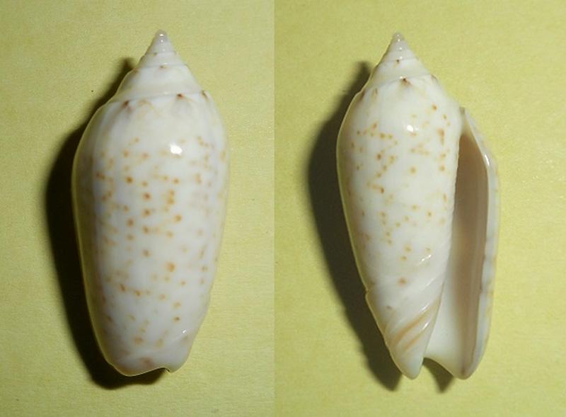 Americoliva pindarina f. intertincta (Carpenter, 1857) voir Americoliva pindarina (Duclos, 1840) Dscn1816