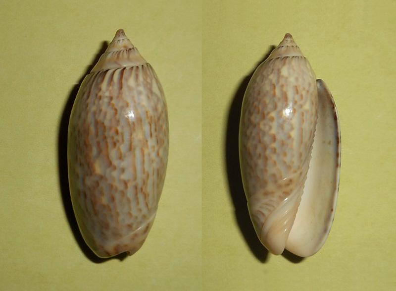 Americoliva tisiphona f. olivacea (Marrat, 1870) accepted as Americoliva tisiphona (Duclos, 1845) Dscn1817