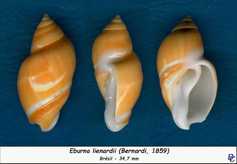 Eburna lienardii - (Bernardi, 1859) Eburna13