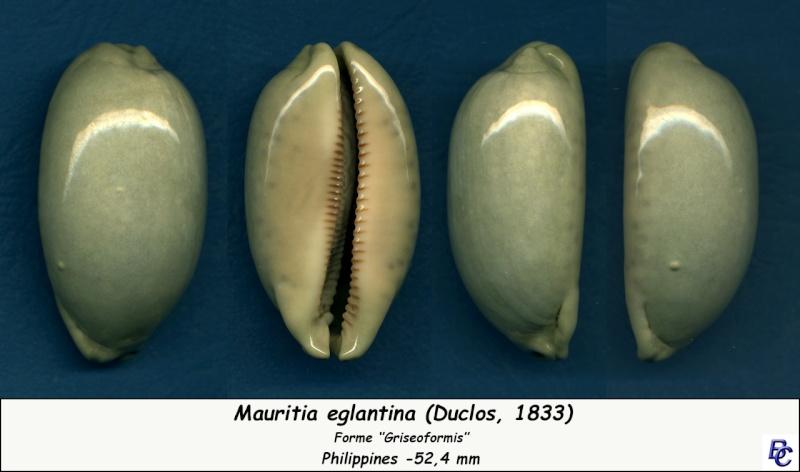 Mauritia eglantina griseoformis  -  (Duclos, 1833) Eglant12
