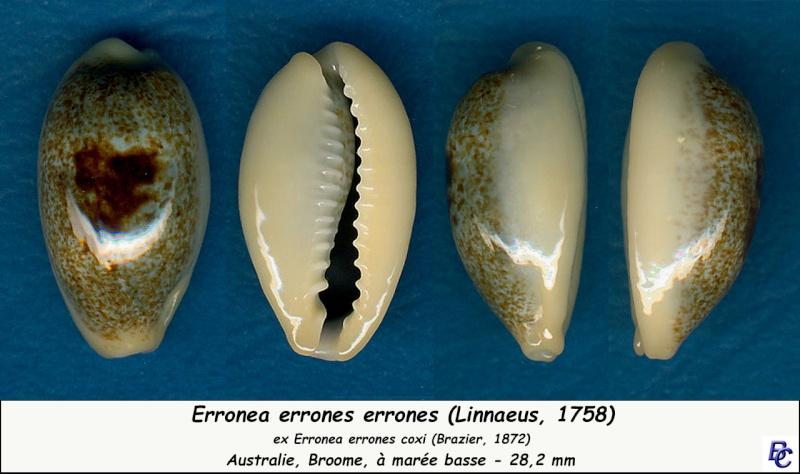 Erronea errones coxi - (Brazier, 1872) - Page 2 Errone13