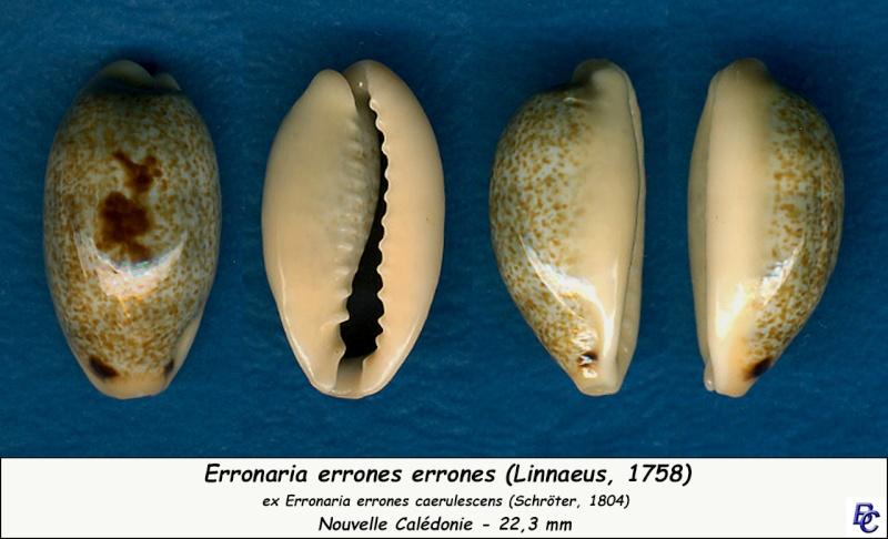 Erronea errones - (Linnaeus, 1758) - Page 3 Errone17
