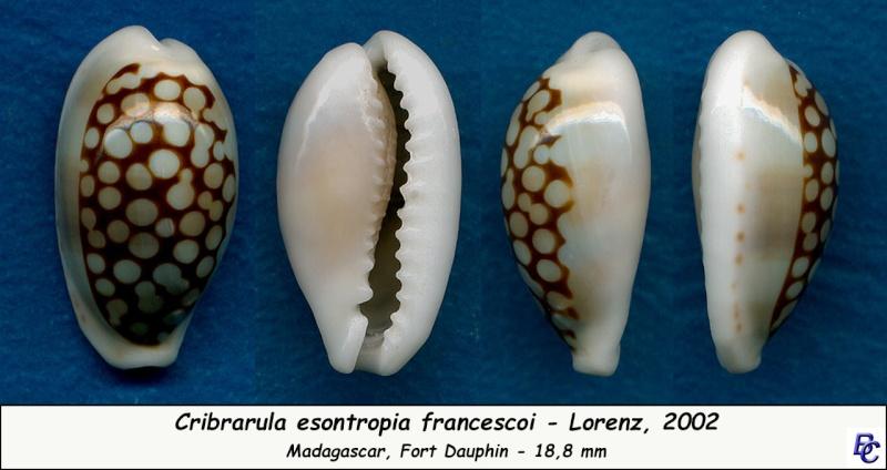 Cribrarula esontropia francescoi - Lorenz, 2002 Esontr10