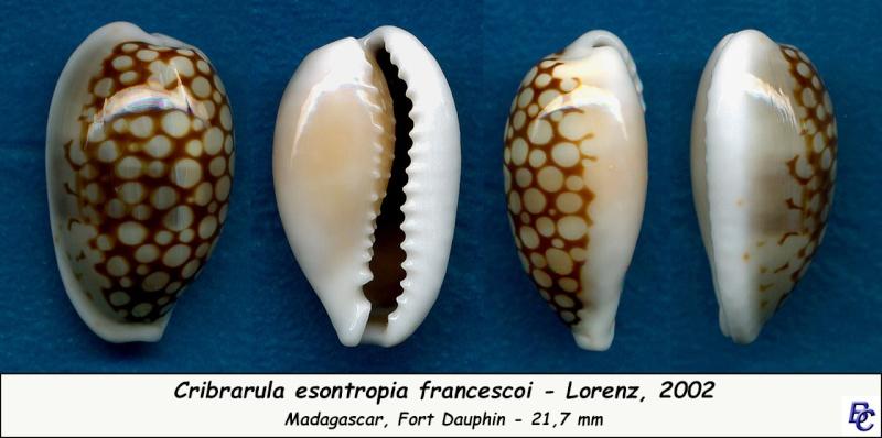 Cribrarula esontropia francescoi - Lorenz, 2002 Esontr11