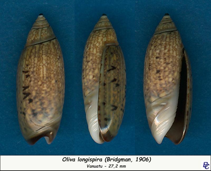 Oliva longispira (Bridgman, 1906) Longis11