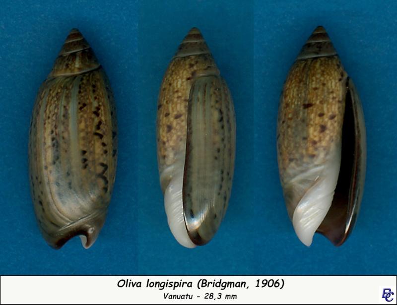 Oliva longispira (Bridgman, 1906) Longis12