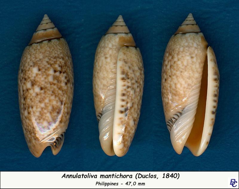 Annulatoliva mantichora (Duclos, 1840) - Worms = Oliva mantichora Duclos, 1840 Mantic10