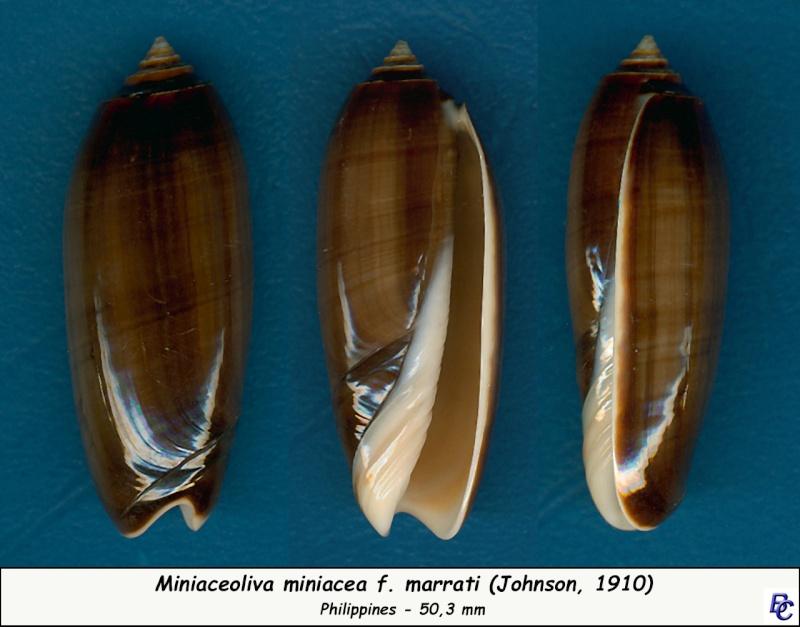 Miniaceoliva miniacea f. marrati (Johnson, 1910) accepted as Oliva miniacea miniacea (Röding, 1798) Miniac10