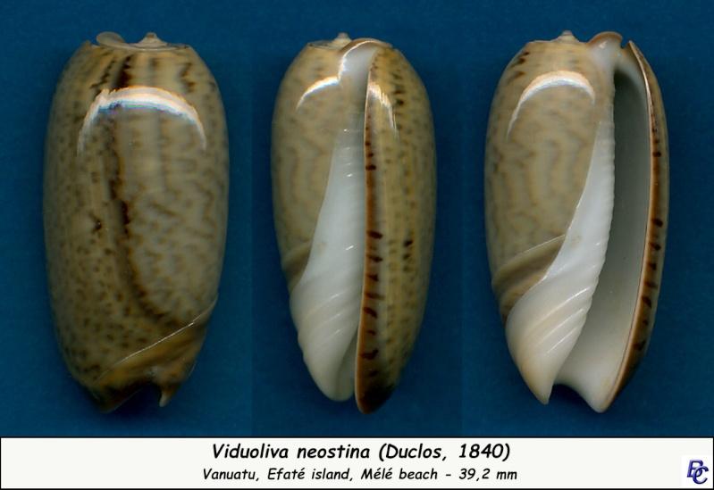 Viduoliva neostina (Duclos, 1840) Neosti11