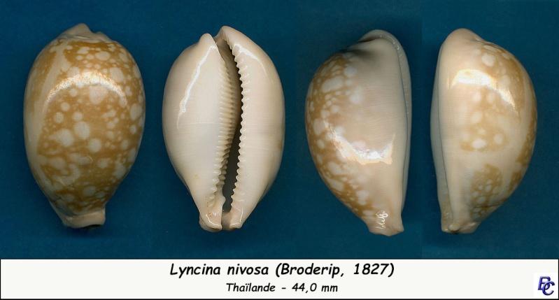 Callistocypraea nivosa - (Broderip, 1827) - Page 2 Nivosa10