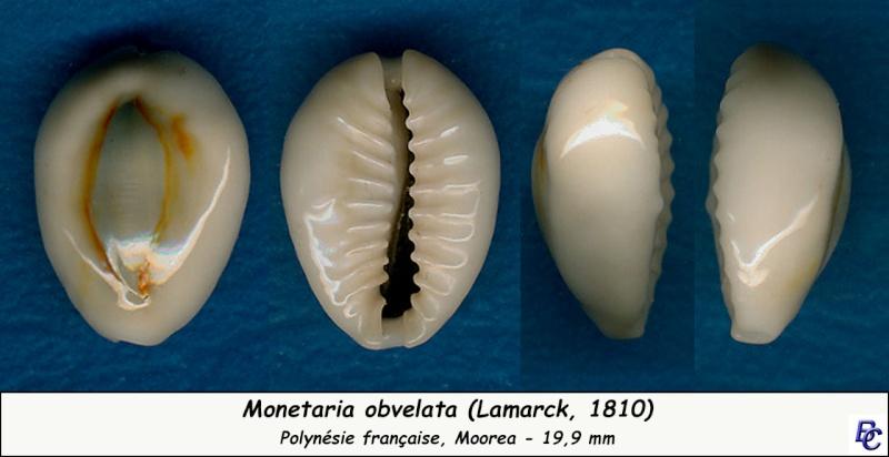 Monetaria obvelata - (Lamarck, 1810) Obvela10