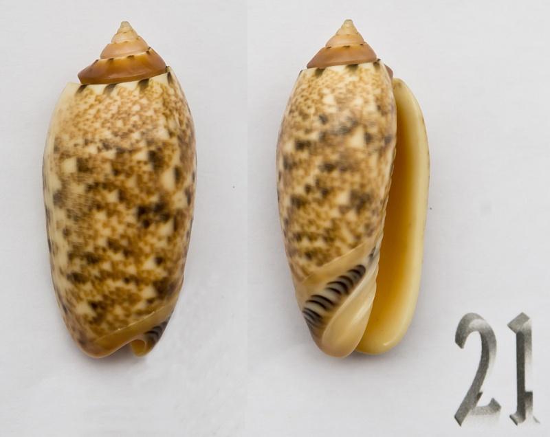 Annulatoliva mantichora (Duclos, 1840) - Worms = Oliva mantichora Duclos, 1840 Oliva-10