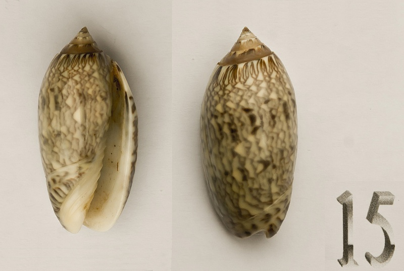 Americoliva reticularis reticularis (Lamarck, 1811) Oliva-12