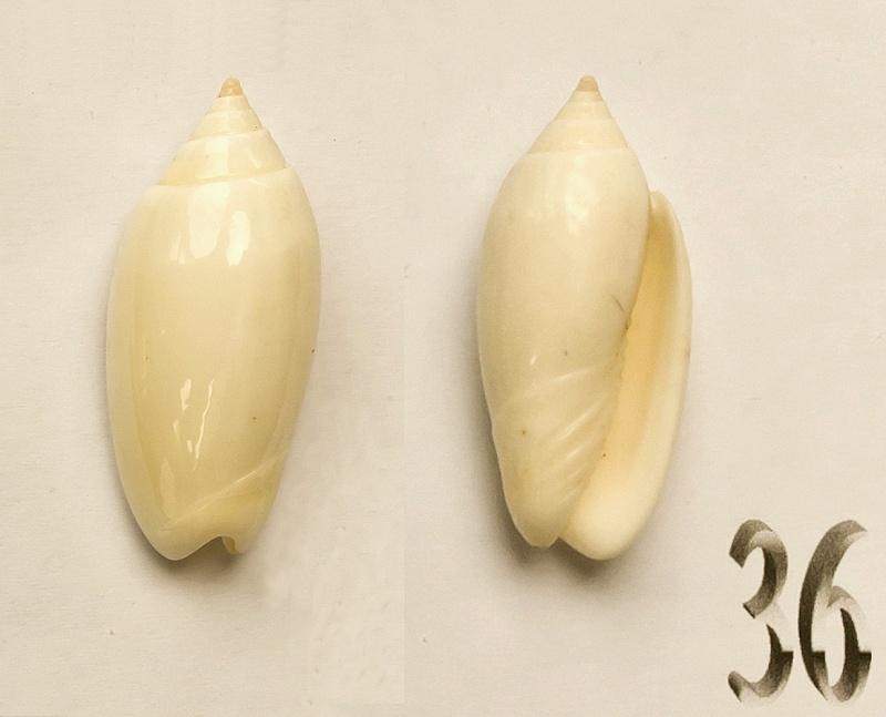 Americoliva reticularis reticularis (Lamarck, 1811) Oliva-13