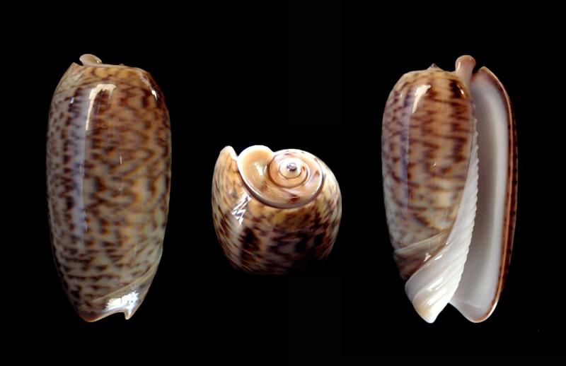 Viduoliva neostina (Duclos, 1840) Oliva108