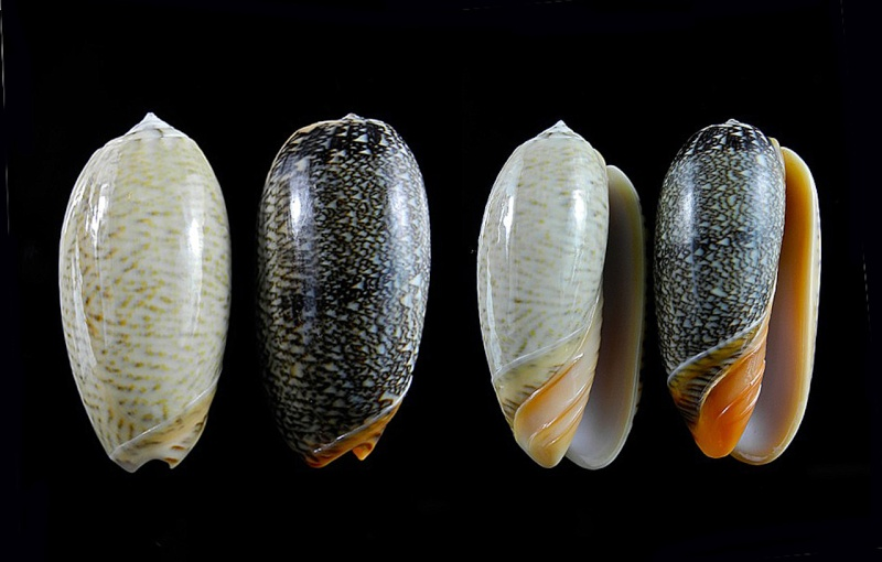 Viduoliva reticulata (Röding, 1798) Oliva109