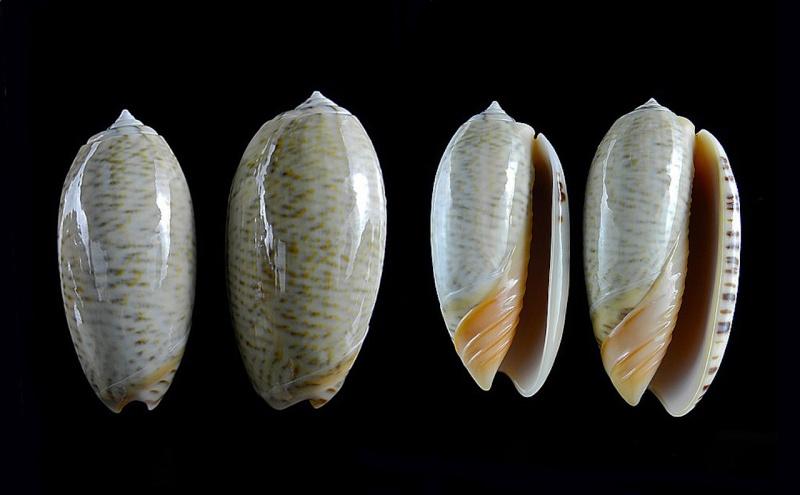 Viduoliva reticulata (Röding, 1798) Oliva111
